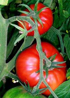 tomatoessmaller